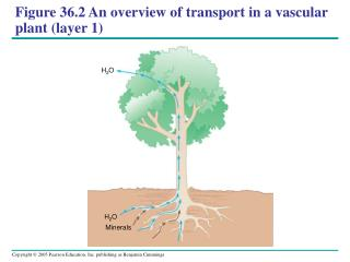 Figure 36.2An overview of transport in a vascular plant (layer 1)