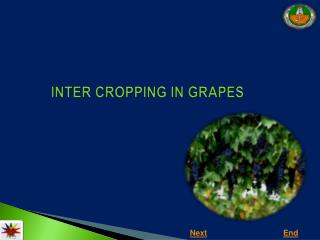 INTER CROPPING IN GRAPES