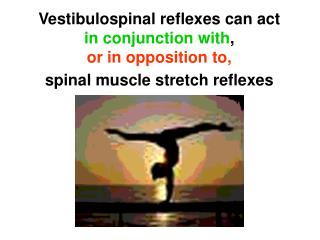 When the head is upright, VST pathways are inactive (neck spinal reflexes are active)