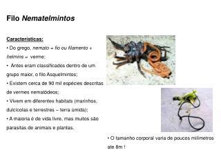 Filo  Nematelmintos Características:  Do grego,  nemato = fio ou filamento  +  helmins =   verme;
