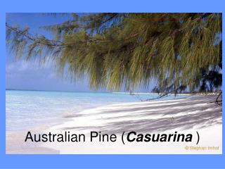 Australian Pine ( Casuarina )