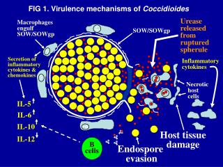 Macrophages engulf SOW/SOWgp