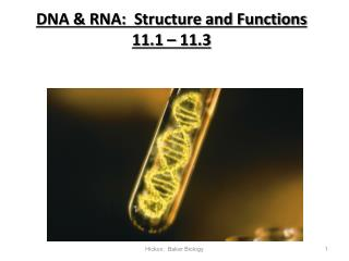 DNA & RNA:  Structure and Functions   11.1 – 11.3