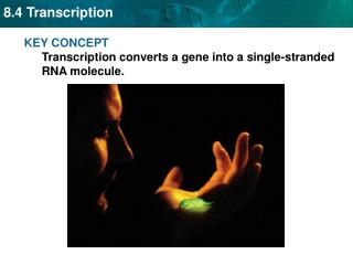 KEY CONCEPT  Transcription converts a gene into a single-stranded RNA molecule.