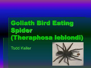 Goliath Bird Eating Spider (Theraphosa leblondi)