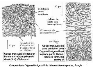 Coupe transversale dans un lichen encro�tant ( Graphis dendritica ). Ci-dessus
