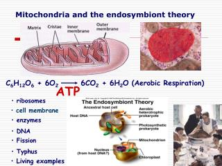 Mitochondria and the endosymbiont theory