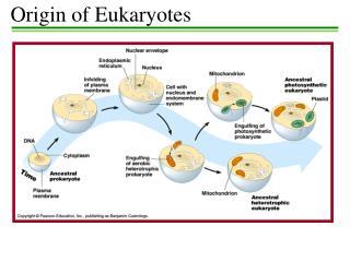 Origin of  Eukaryotes