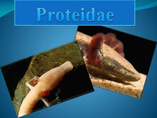 Proteidae