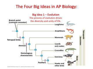 The Four Big Ideas in AP Biology: