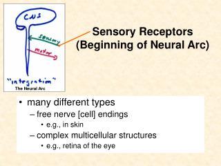 Sensory Receptors  (Beginning of Neural Arc )