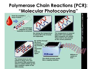 "Polymerase Chain Reactions (PCR): ""Molecular Photocopying"""