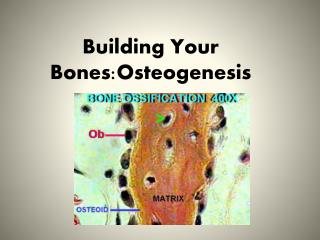 Building Your Bones:Osteogenesis