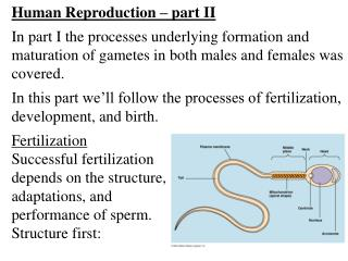 Human Reproduction – part II