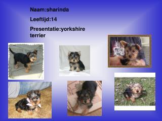 Naam:sharinda  Leeftijd:14 Presentatie:yorkshire terrier