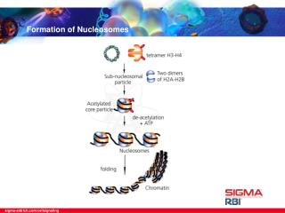 Formation of Nucleosomes