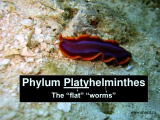 Phylum  Platy helminthes The �flat� �worms�