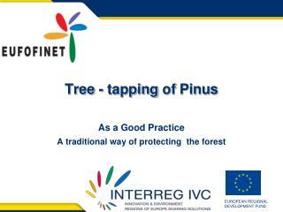 Tree  -  tapping  of  Pinus