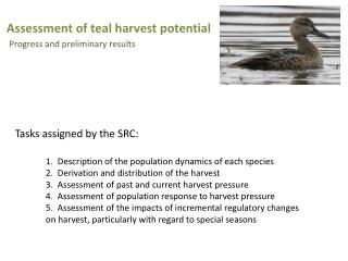 Assessment of teal harvest potential