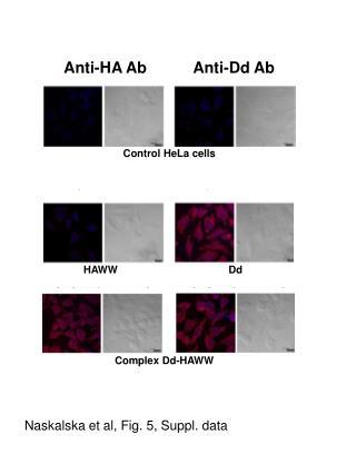 Control HeLa cells