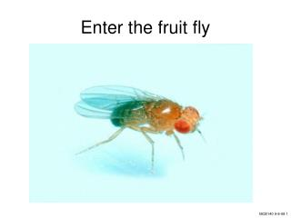 Enter the fruit fly