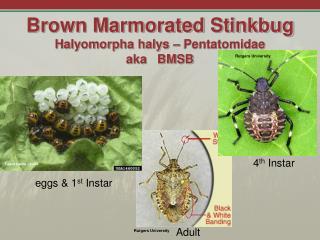 Brown Marmorated Stinkbug Halyomorpha halys – Pentatomidae aka   BMSB