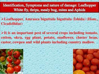 Leafhopper, Amrasca biguttula biguttula (Ishida) (Hom., Cicadellidae)