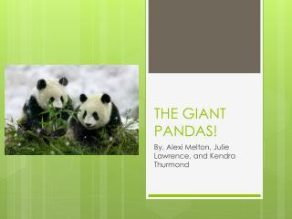THE  GIANT PANDAS!