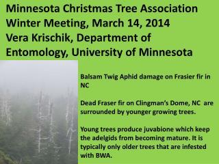 Balsam Twig Aphid damage on Frasier fir in NC