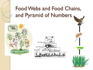 Food Webs and Food Chains, and Pyramid of Numbers