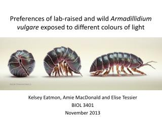 Preferences of lab-raised and wild  Armadillidium vulgare exposed  to different  colours  of light