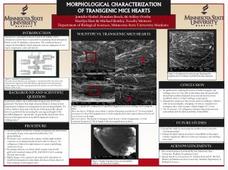 MORPHOLOGICAL CHARACTERIZATION  OF TRANSGENIC MICE HEARTS