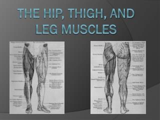 The Hip, Thigh, and Leg Muscles