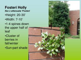 Fosteri Holly Ilex x attenuata �Fosteri