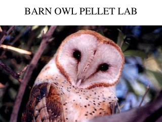 BARN OWL PELLET LAB