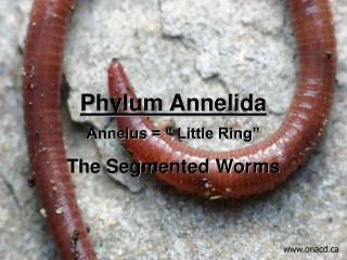 "Phylum Annelida Annelus = "" Little Ring"" The Segmented Worms"
