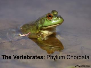 The Vertebrates : Phylum Chordata