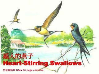 感人的燕子 Heart-Stirring Swallows