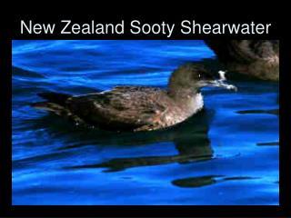 New Zealand Sooty Shearwater