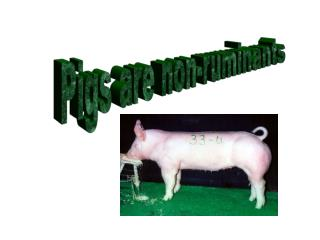Pigs are non-ruminants