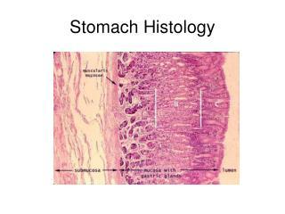 Stomach Histology