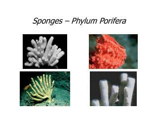 Sponges – Phylum Porifera