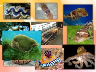 Тип   Молюски .  Загальна  характеристика типу