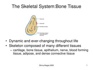 The Skeletal System:Bone Tissue
