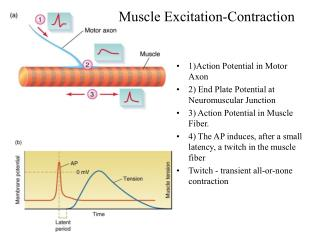 1)Action Potential in Motor Axon 2) End Plate Potential at Neuromuscular Junction
