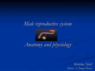 Male reproductive system Anatomy and physiology