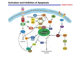 Activation and Inhibition of Apoptosis