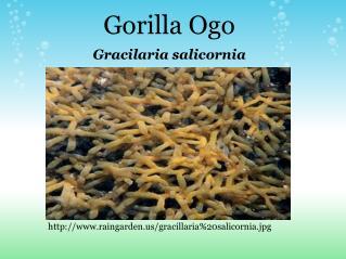Gorilla Ogo