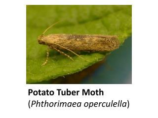 Potato Tuber Moth  ( Phthorimaea operculella )