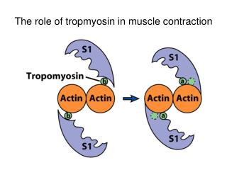 The role of tropmyosin in muscle contraction